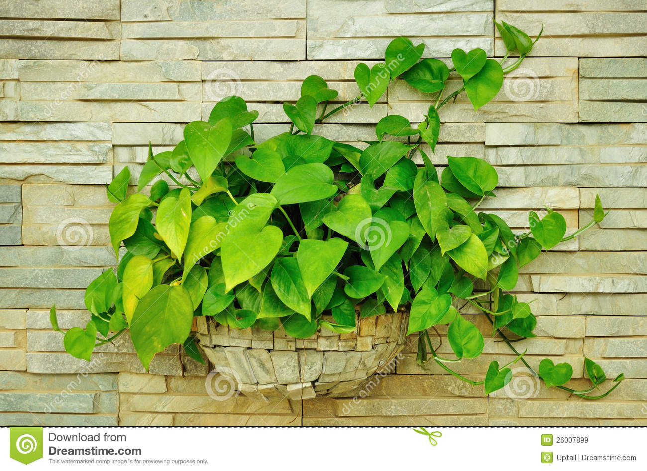 Interior Plant Wall Scindapsus Aureus Stock Image Image Of Slab Green