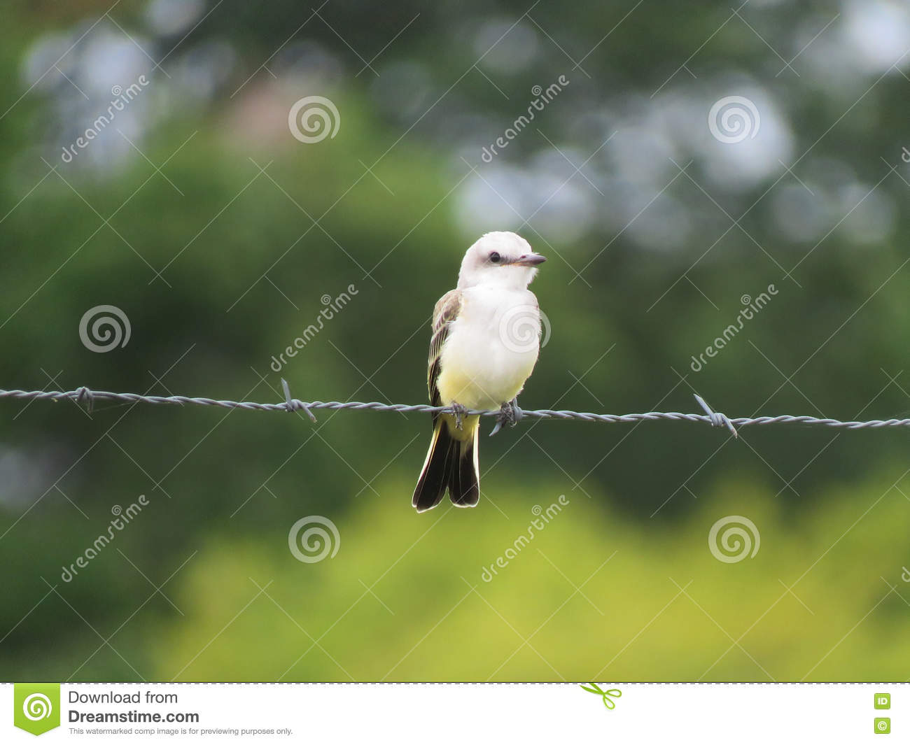 Scissor tail flycatcher, baby or young