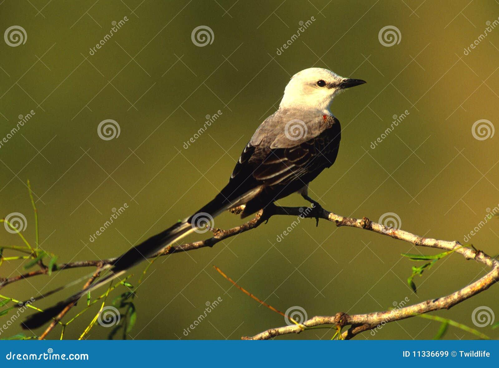Scissor tailed flycatcher clipart - photo#23