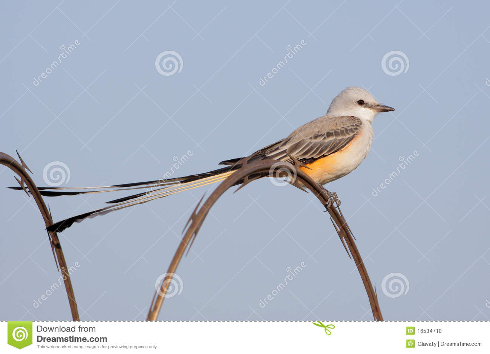 Scissor tailed flycatcher clipart - photo#14
