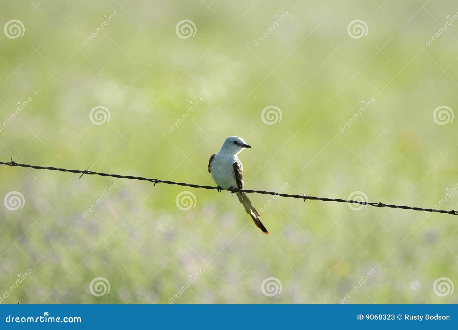 Scissor tailed flycatcher clipart - photo#24