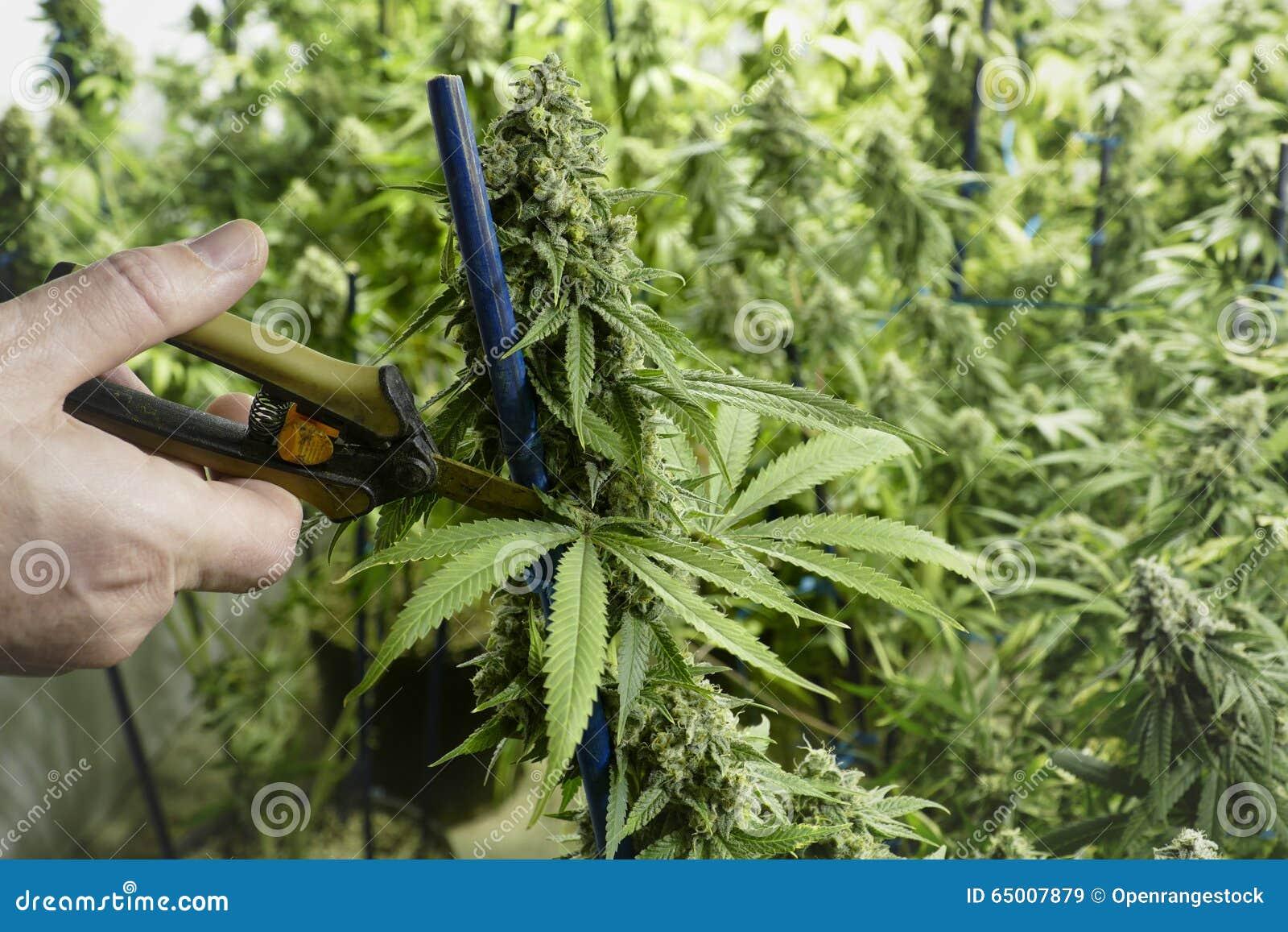 trimming medical cannabis medicine stock photography 80382356. Black Bedroom Furniture Sets. Home Design Ideas