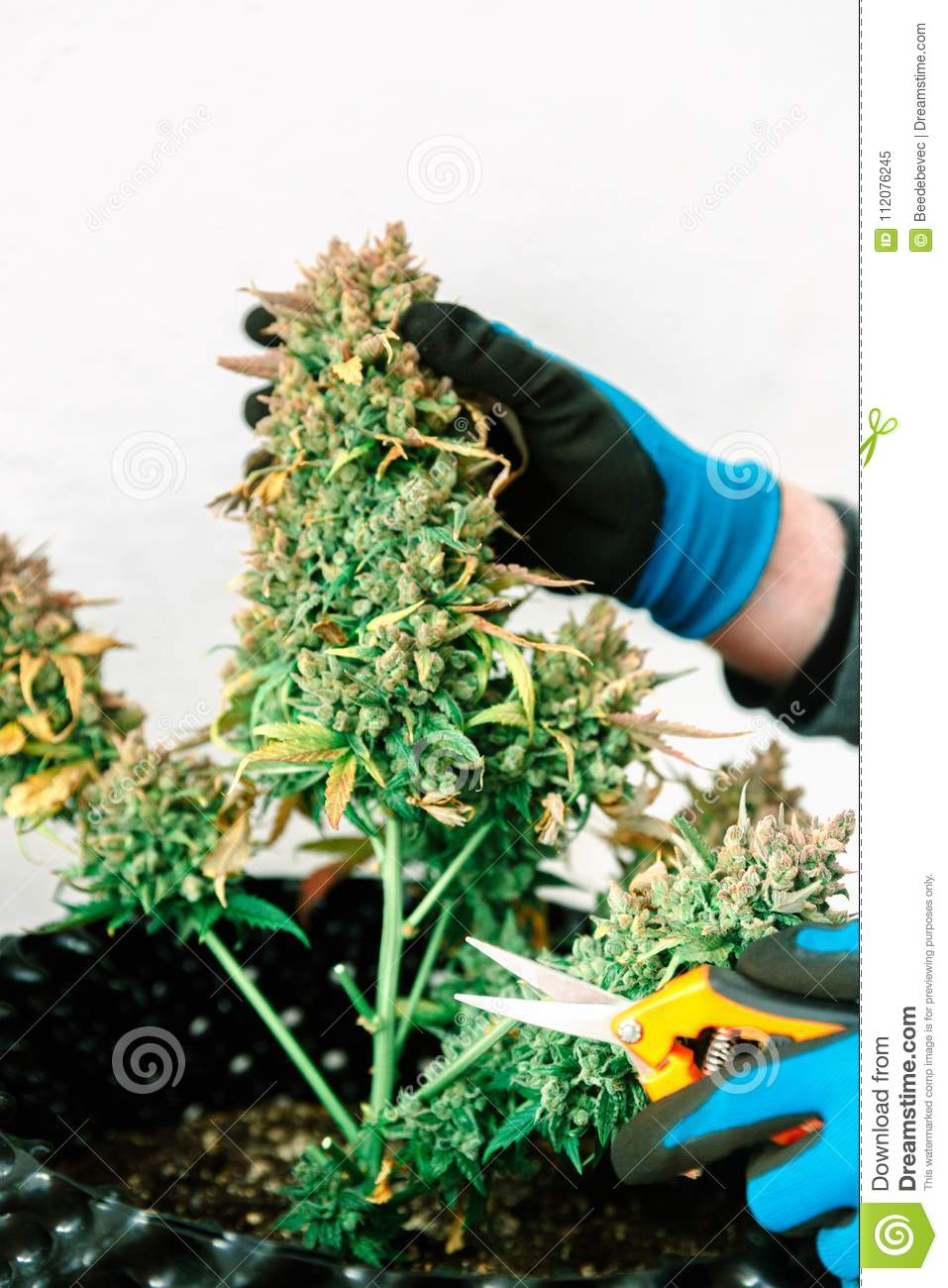 Scissors Trimming Mature Indoor Marijuana Bud For Harvest ... |Harvesting Marijuana Scissors
