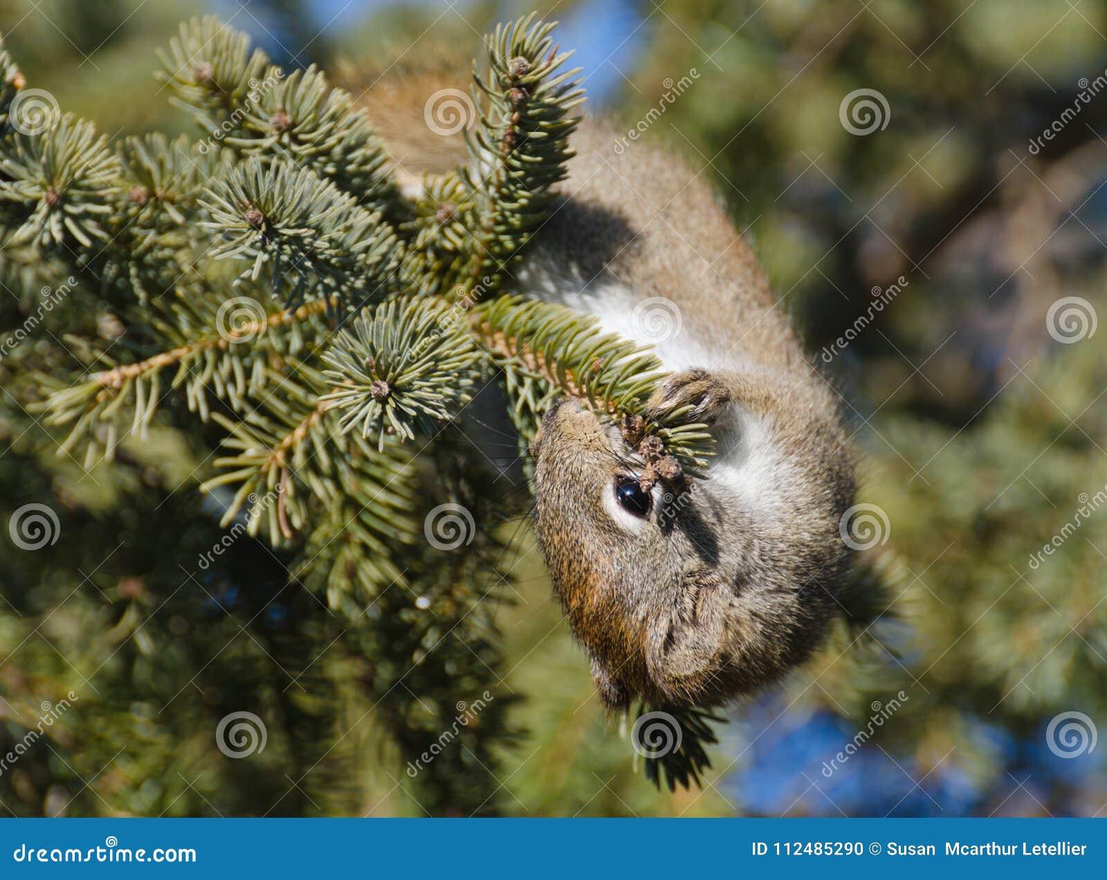 Sciuridae affamé d écureuil mangeant des graines de cône de conifère