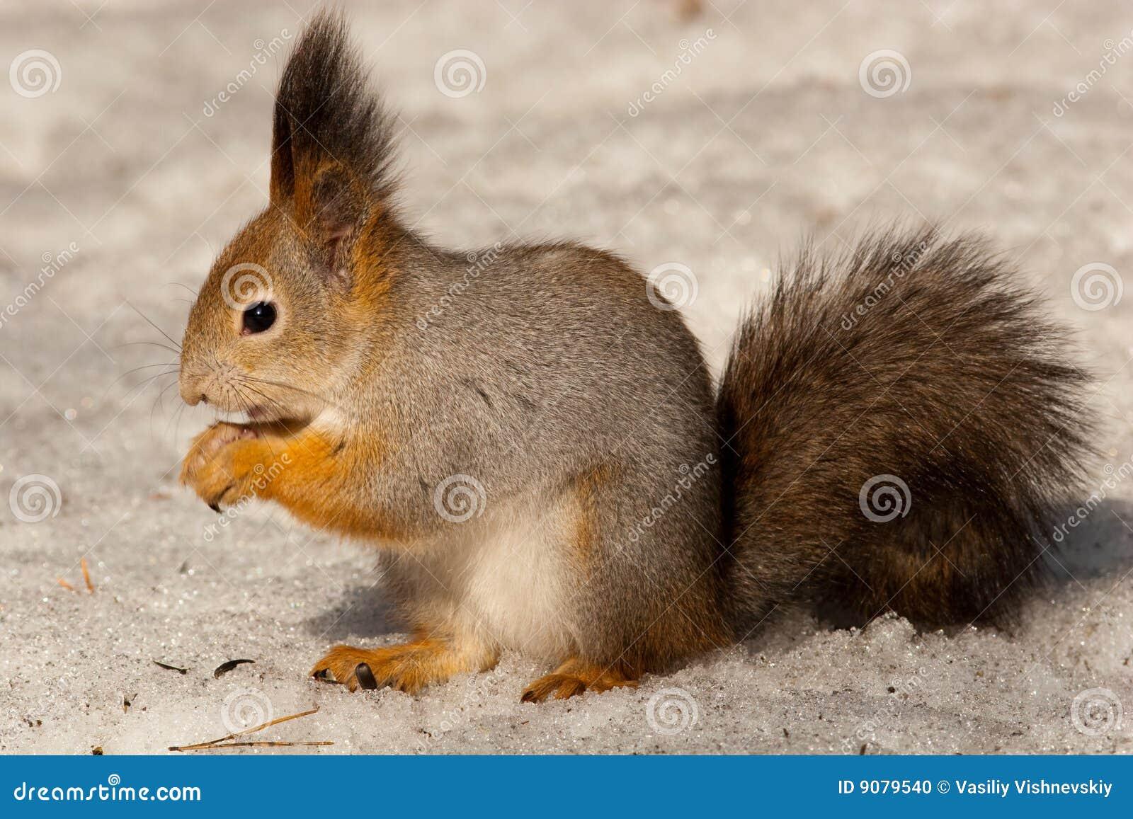 Sciurus gemein, rotes Eichhörnchen (Eurasier)