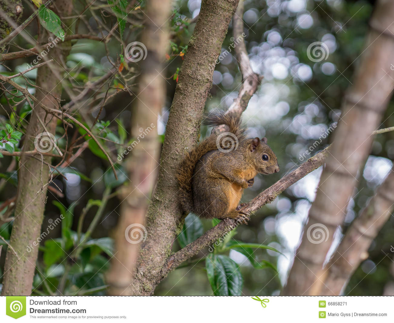 Sciurus on a Tree