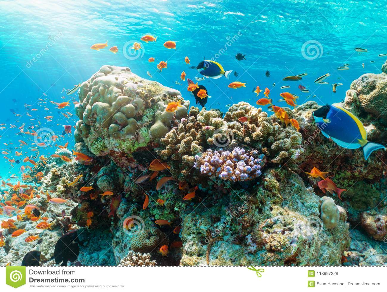 Scogliera subacquea variopinta con i pesci tropicali nell Oceano Indiano