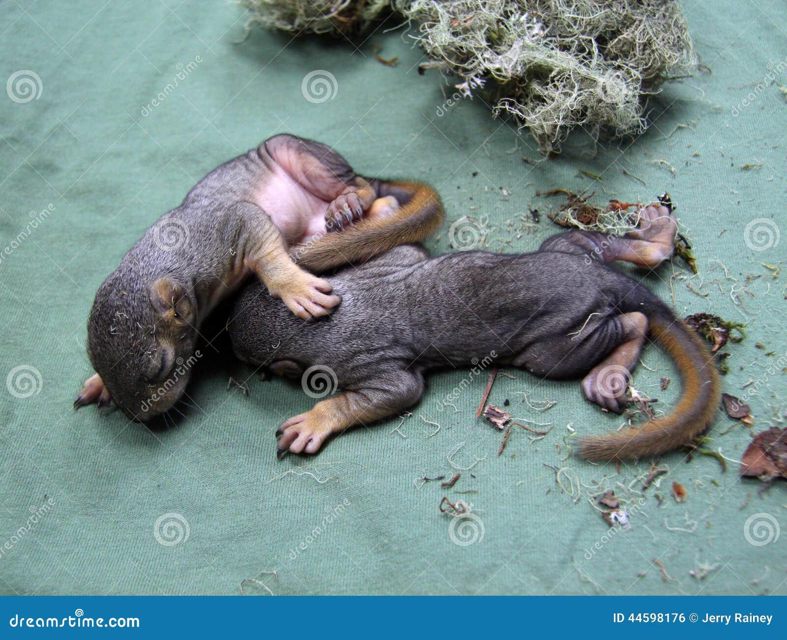 Scoiattoli del neonato fotografia stock immagine 44598176 for Piccoli piani di coperta