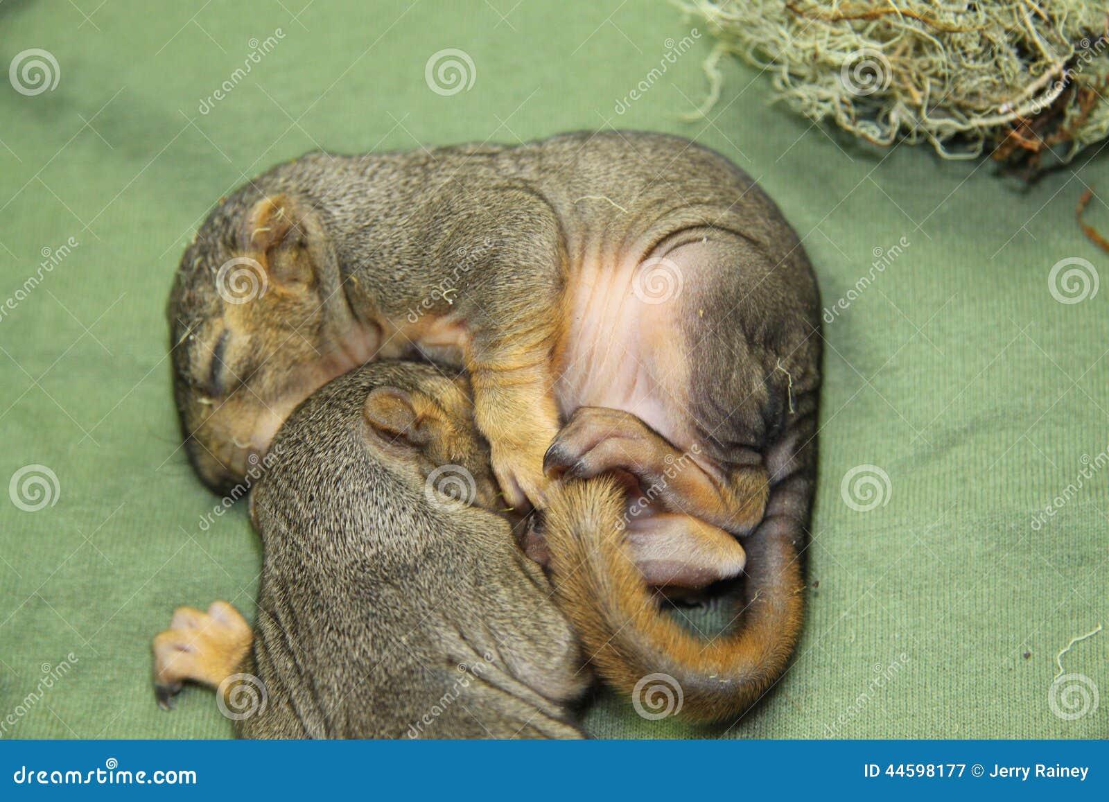 Scoiattoli del neonato fotografia stock immagine 44598177 for Piccoli piani di coperta