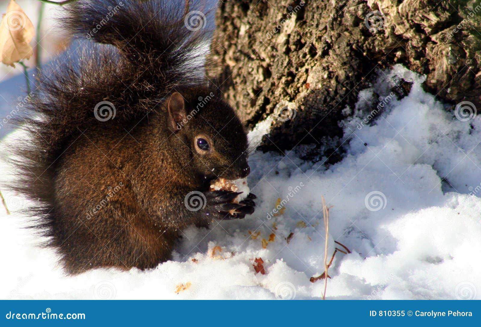 Scoiattolo di inverno fotografia stock libera da diritti - Animali in inverno clipart ...
