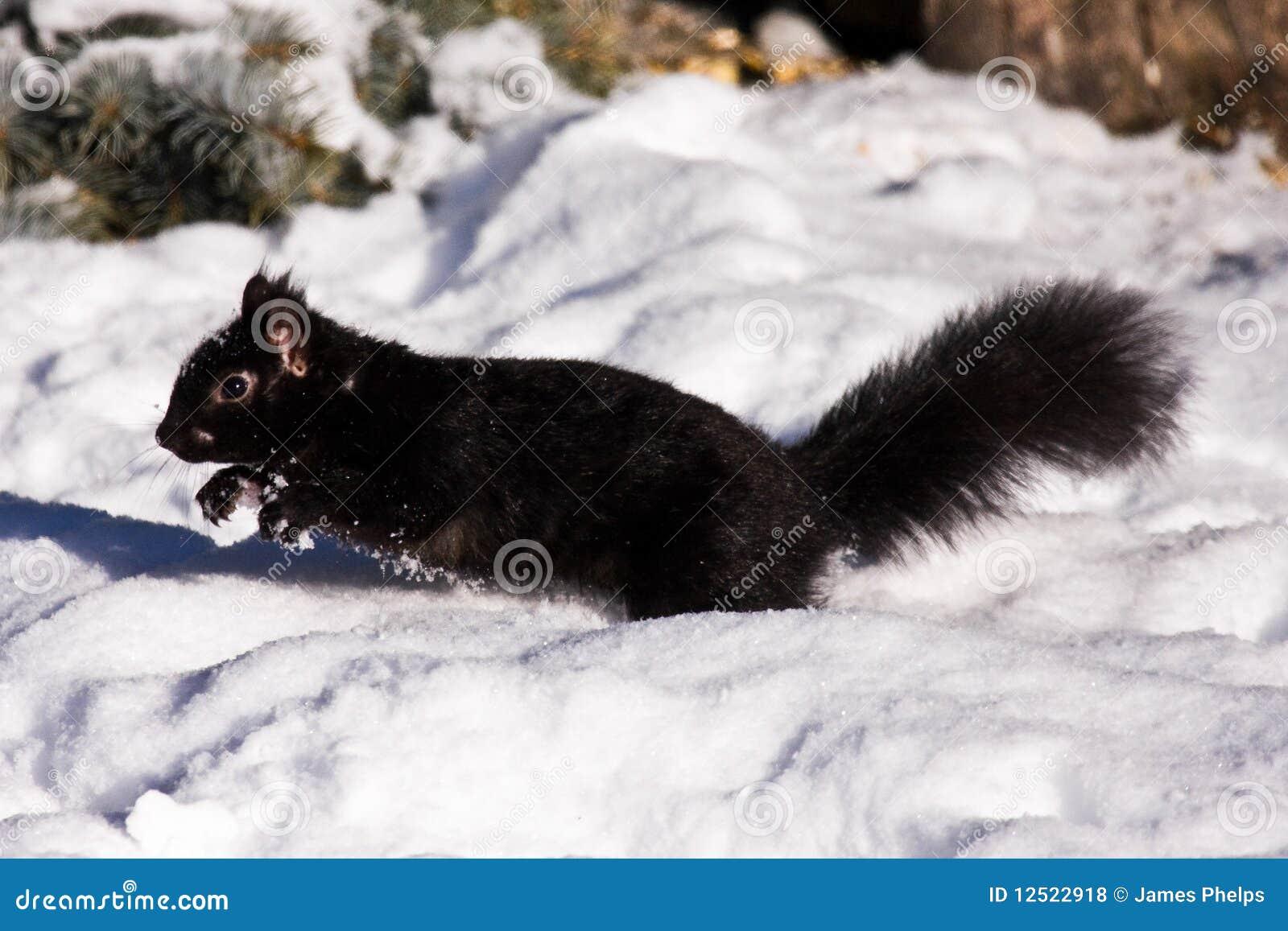 Scoiattolo nero in inverno fotografie stock libere da - Animali in inverno clipart ...