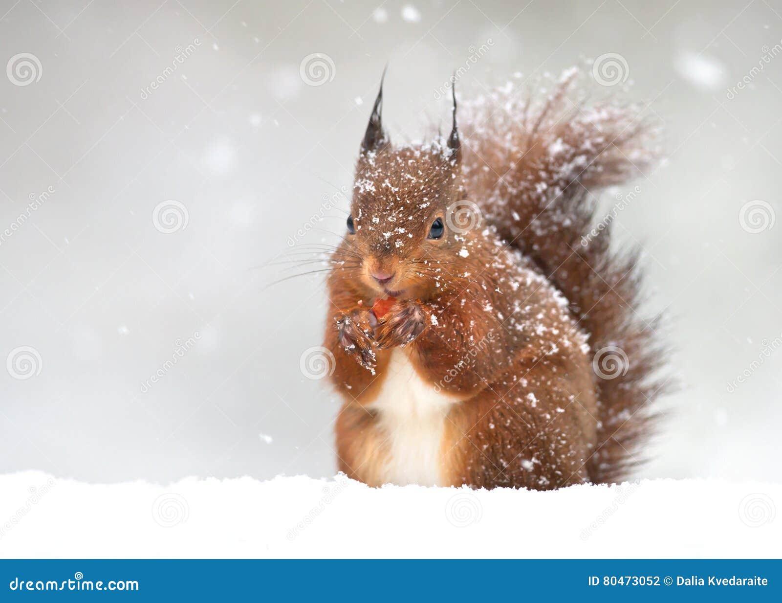 Scoiattolo rosso sveglio nella neve di caduta nell inverno