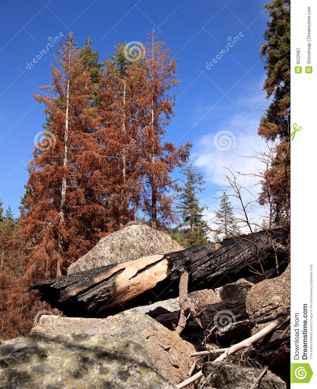 Scorched trees after forest fire