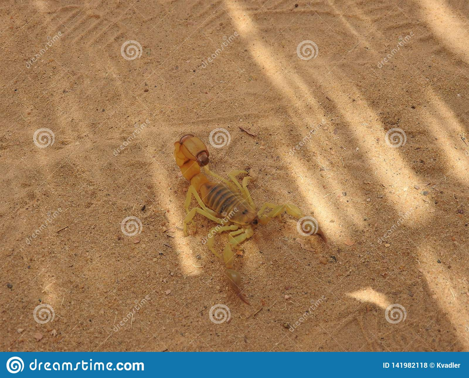 Scorpio on the sand in its natural habitat, Africa clear day