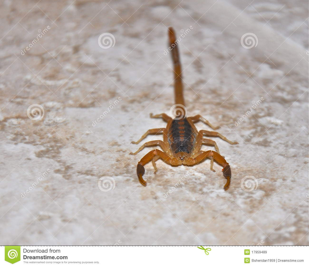 Scorpion Royalty Free Stock Images Image 17959489