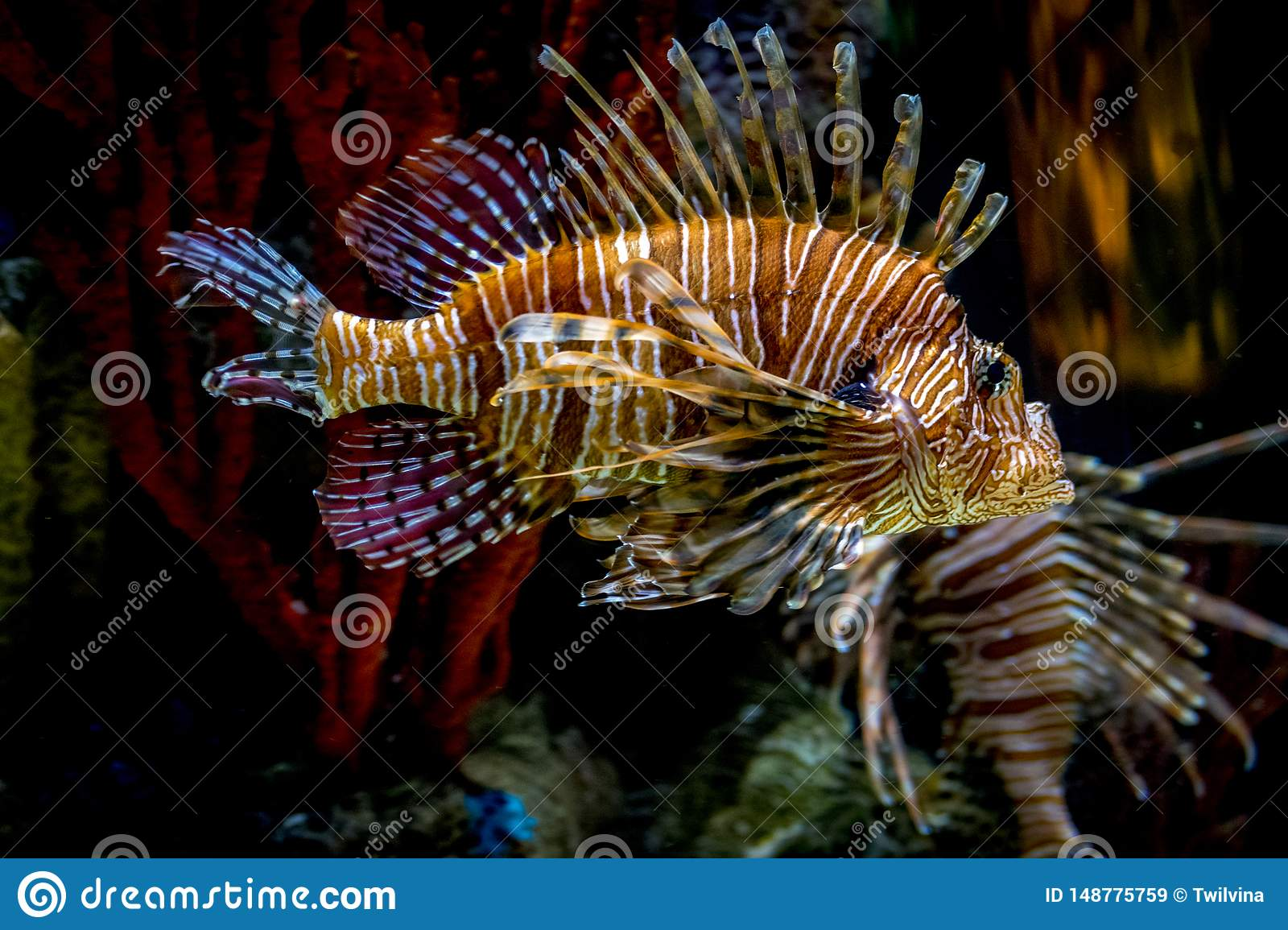 Scorpion fish under water life reef