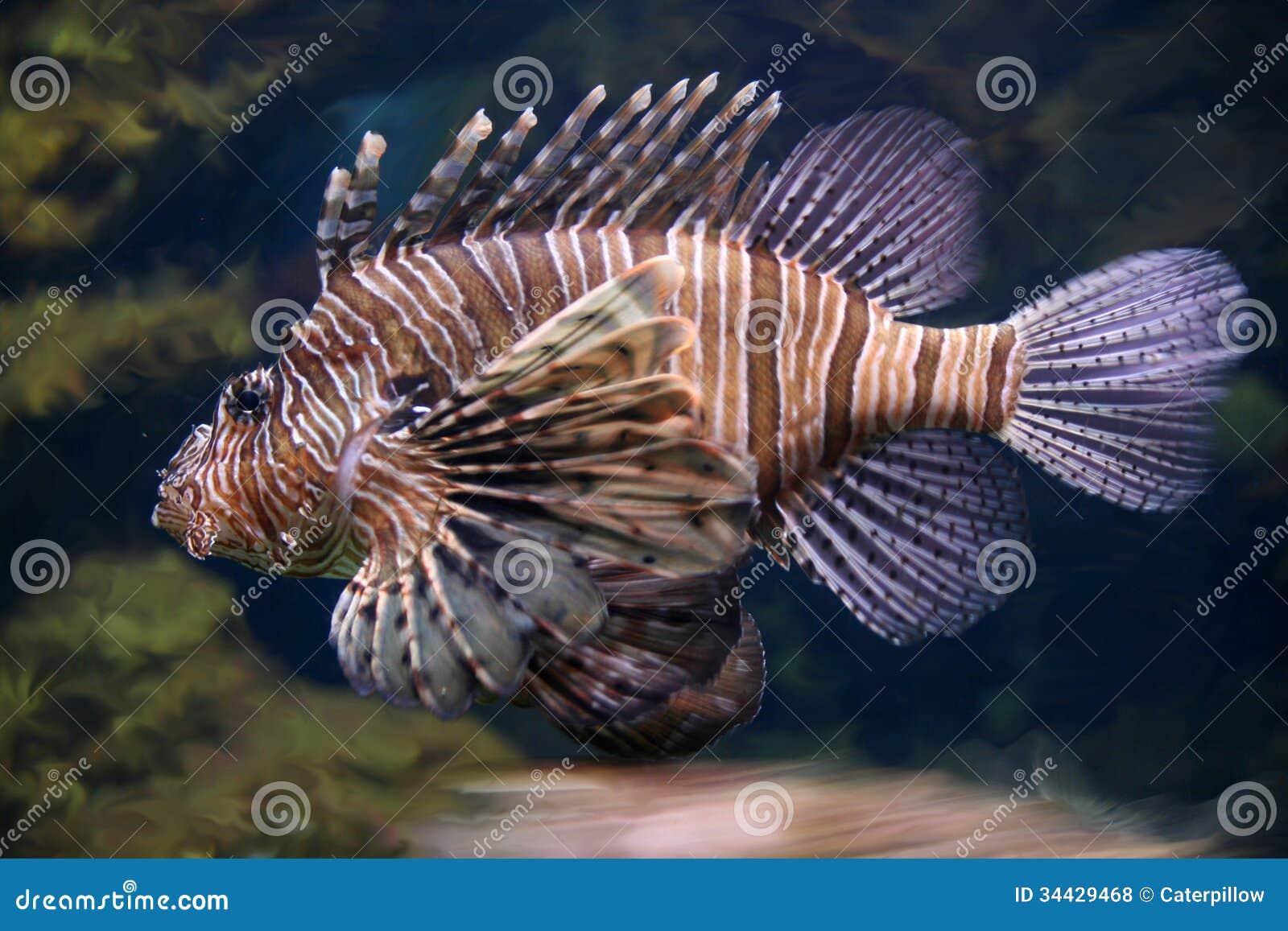 Ugly freshwater aquarium fish - Scorpion Fish Underwater Close Up Royalty Free Stock Photos