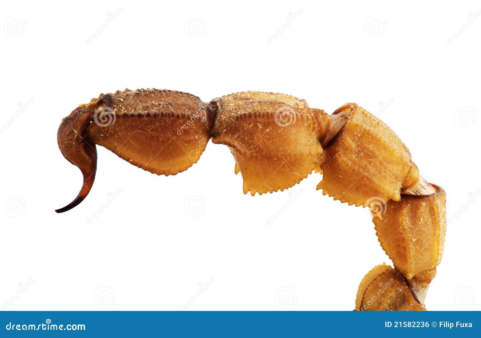 Scorpion Tail Royalty Free Stock Image Image 21582236