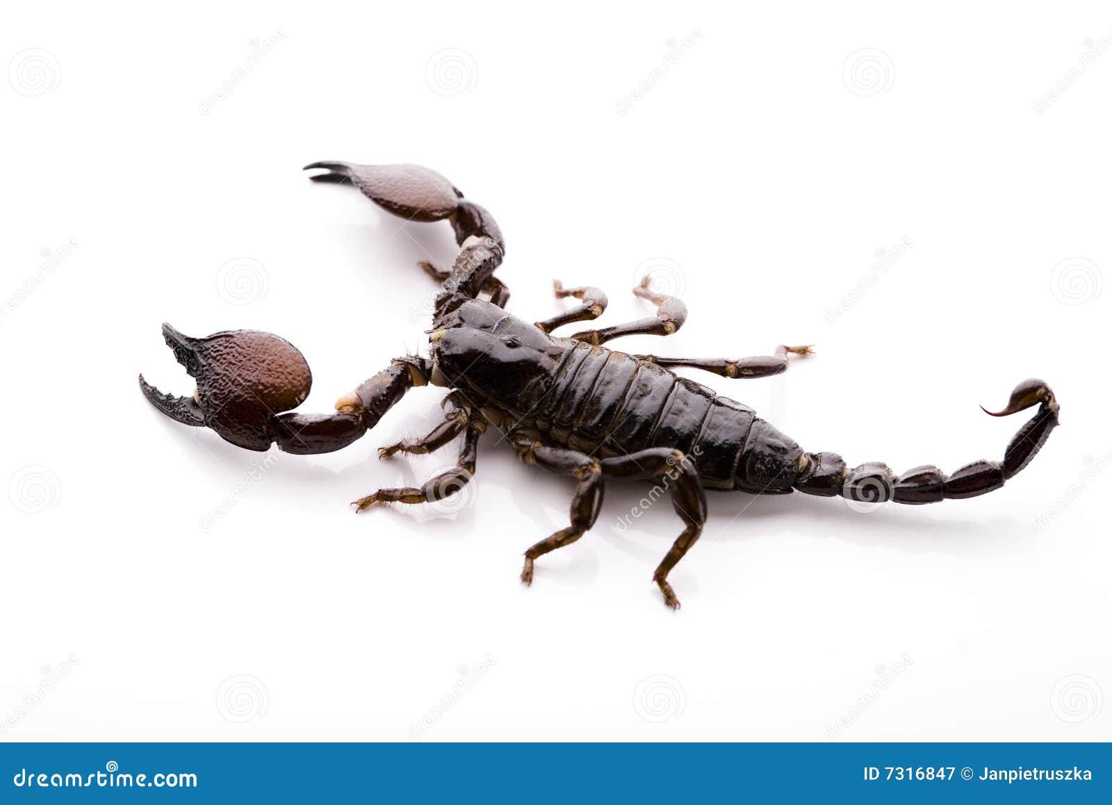 Scorpione - isolato su bianco