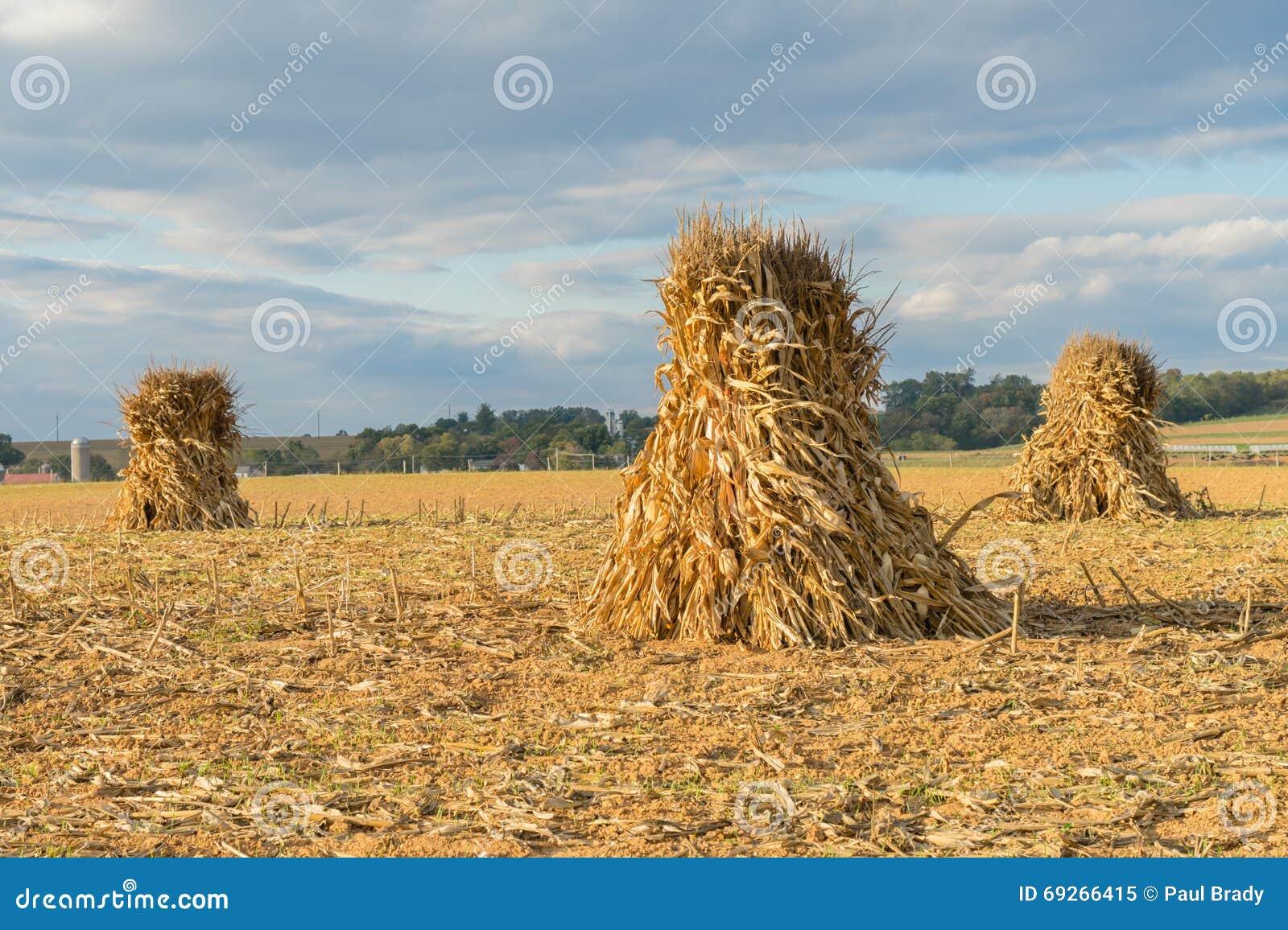 Scosse di cereale nel campo dell azienda agricola