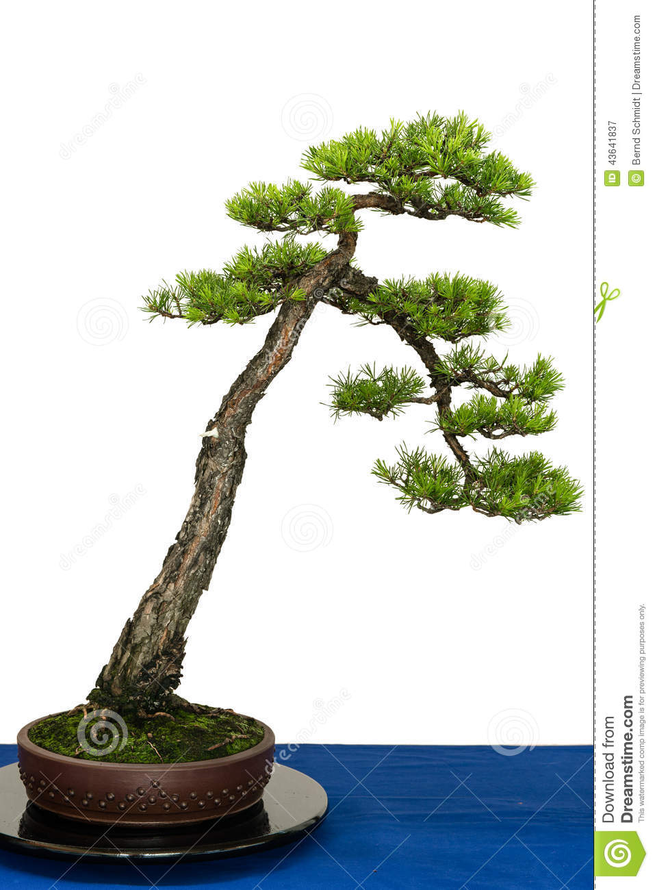 scots pine as bonsai tree stock image image of china. Black Bedroom Furniture Sets. Home Design Ideas