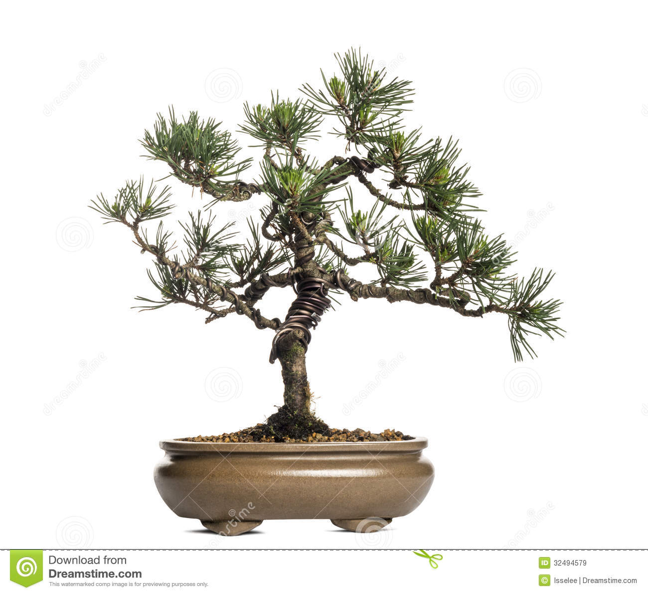 scots pine bonsai tree pinus sylvestris isolated royalty. Black Bedroom Furniture Sets. Home Design Ideas