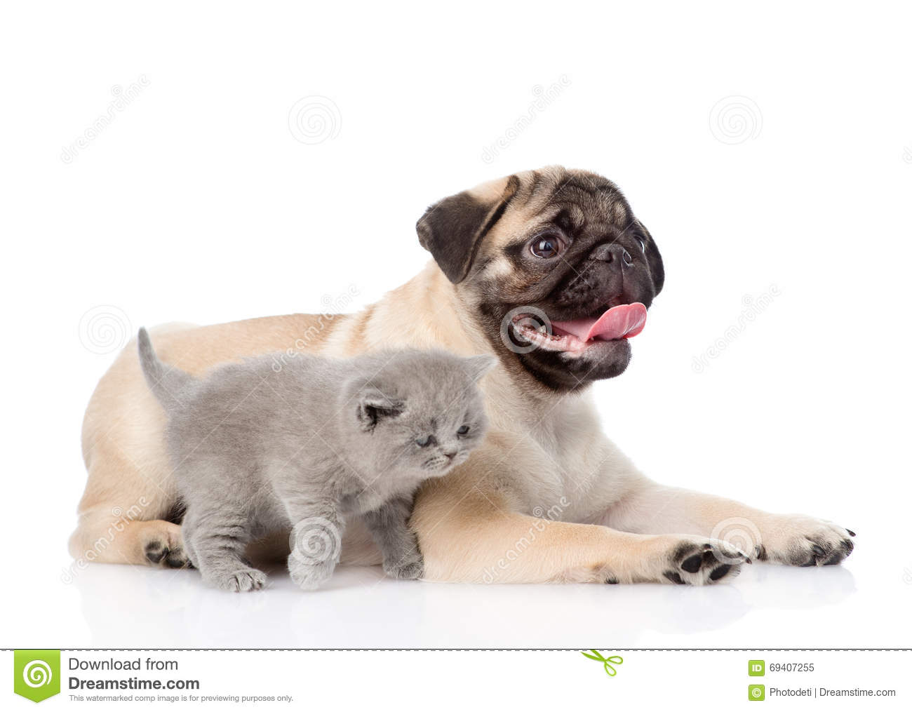 Scottish Cat And Pug Puppy Together Isolated On White Background