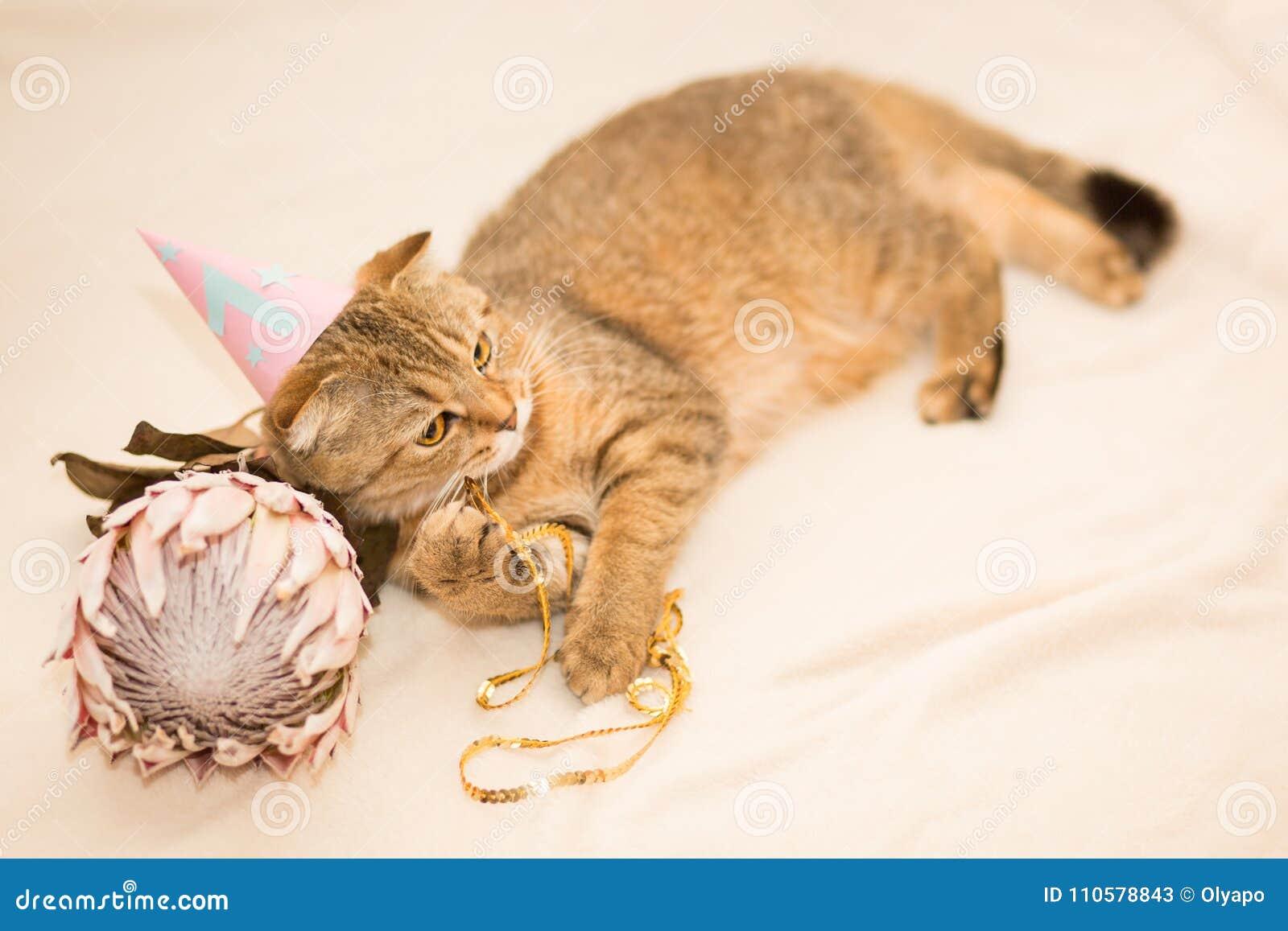 Scottish Faltenkatze Braune Getigerte Katze Erster Geburtstag Der