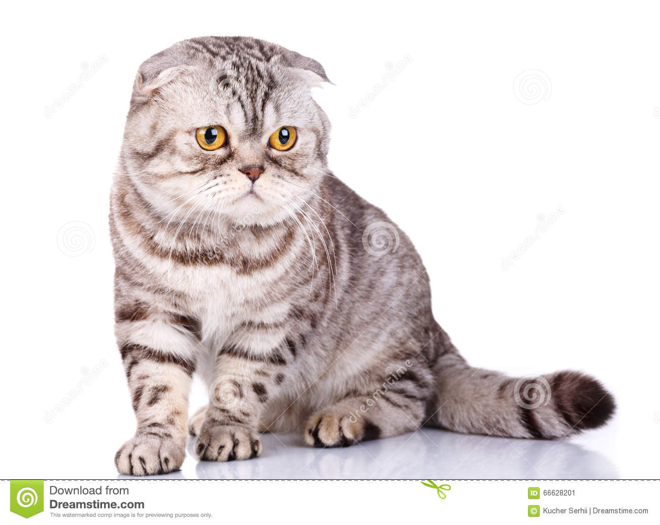 Scottish Fold Cat Pictures Royalty Free
