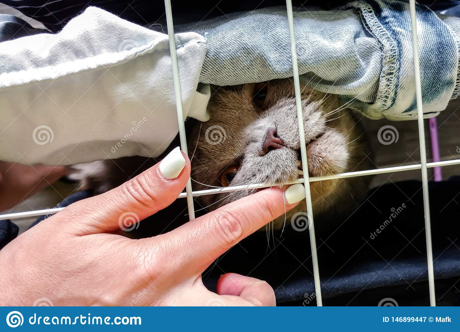 Scottish Fold cat bites a finger throug a net. Top view
