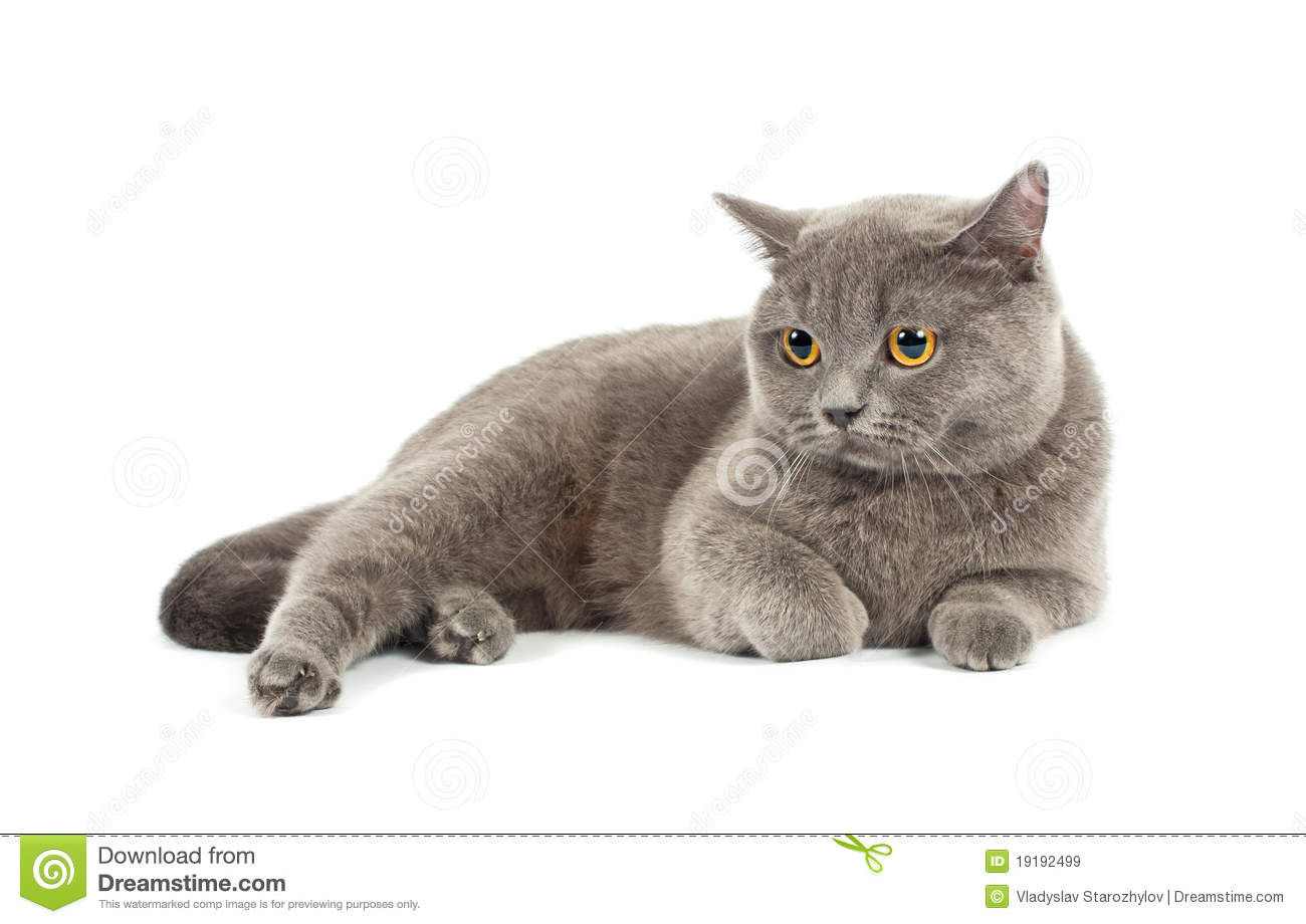 the gallery for grey and white scottish fold cat. Black Bedroom Furniture Sets. Home Design Ideas