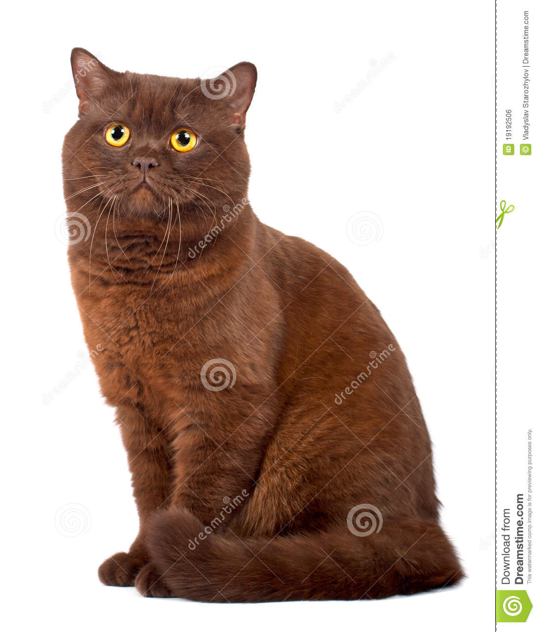 Scottish Fold Chocolate Cat Stock Photo Image Of