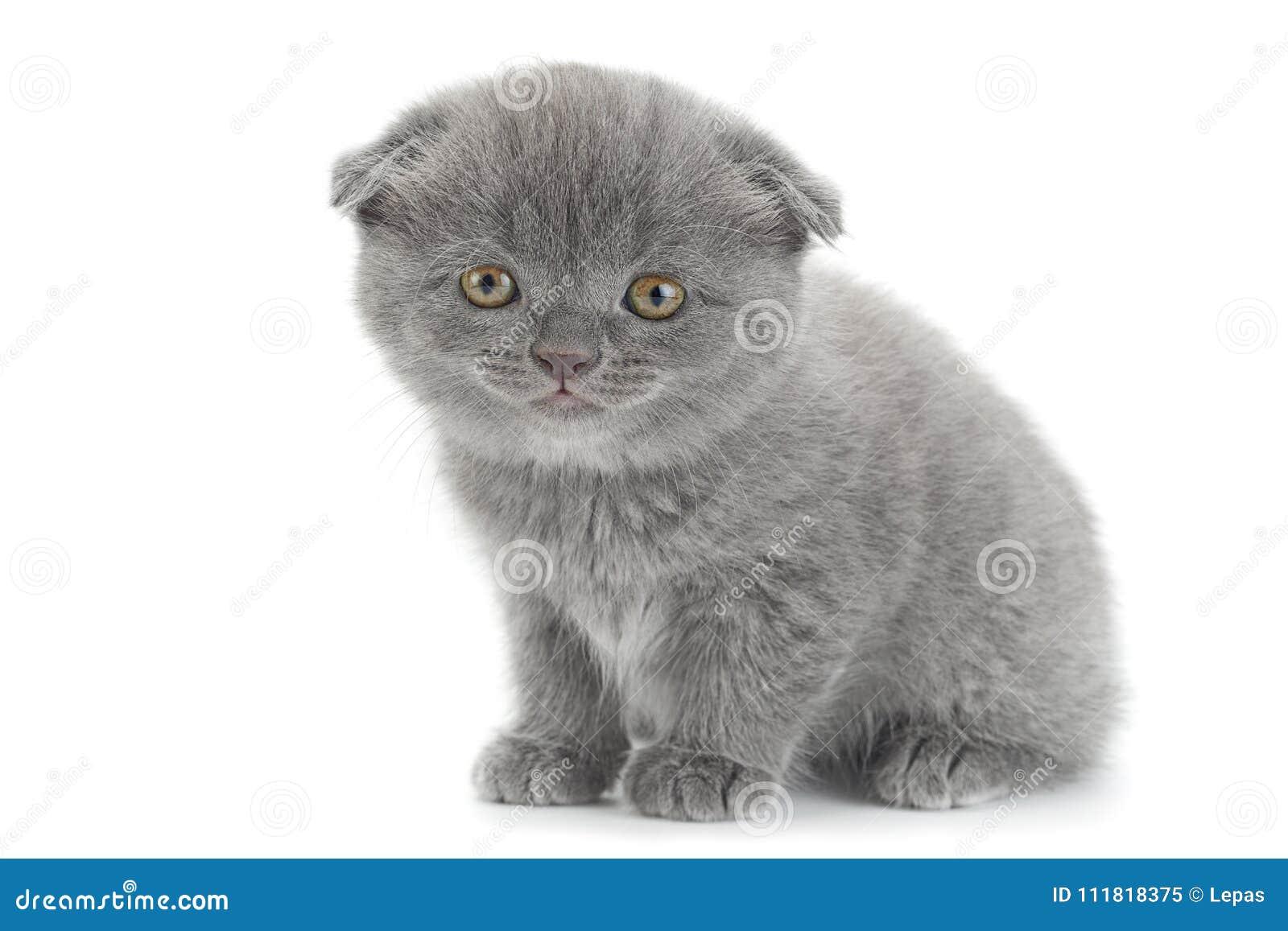 scottish fold gray cat stock image image of grey little 111818375. Black Bedroom Furniture Sets. Home Design Ideas