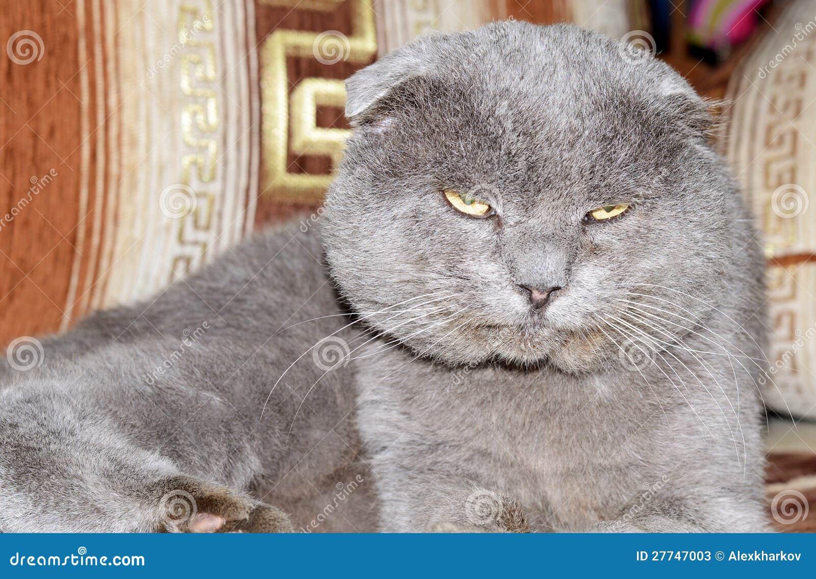 Scottish Fold Grey Cat Stock Image Image Of Domestic