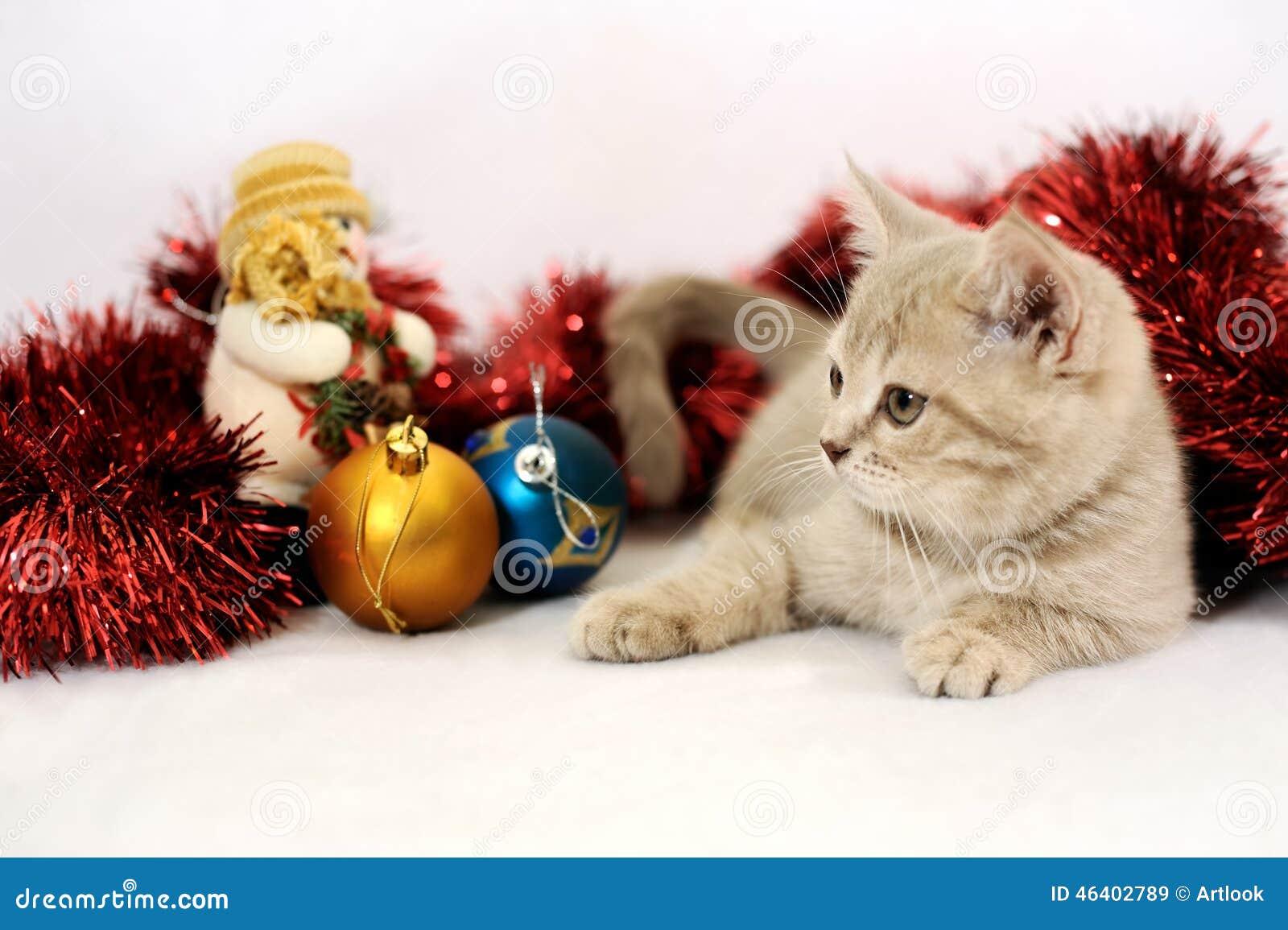 Scottish Fold Kitten & New Year Stock Image - Image of white ...