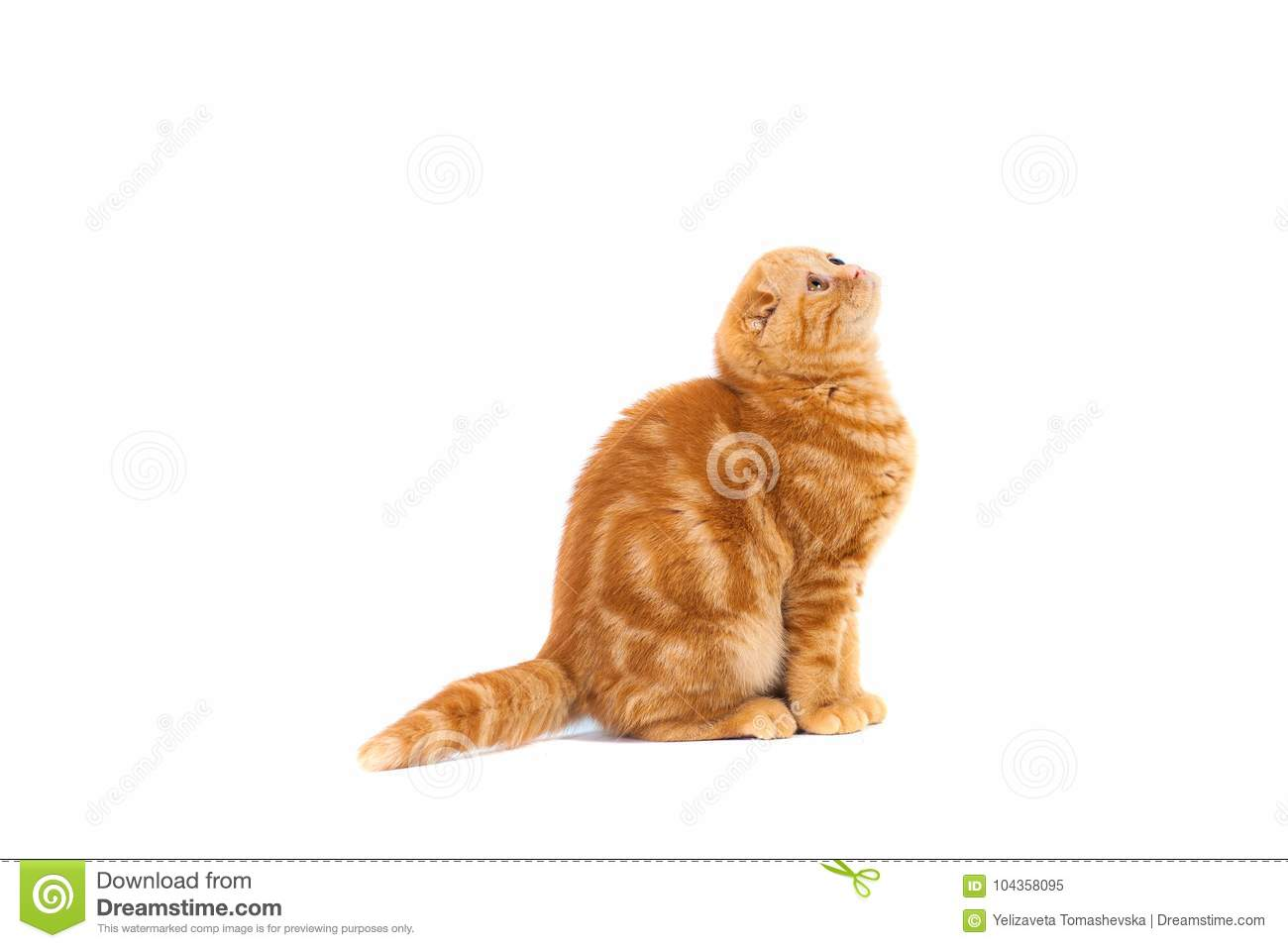 Scottish Fold Small Baby Cat Of Red Color With Short Hair In