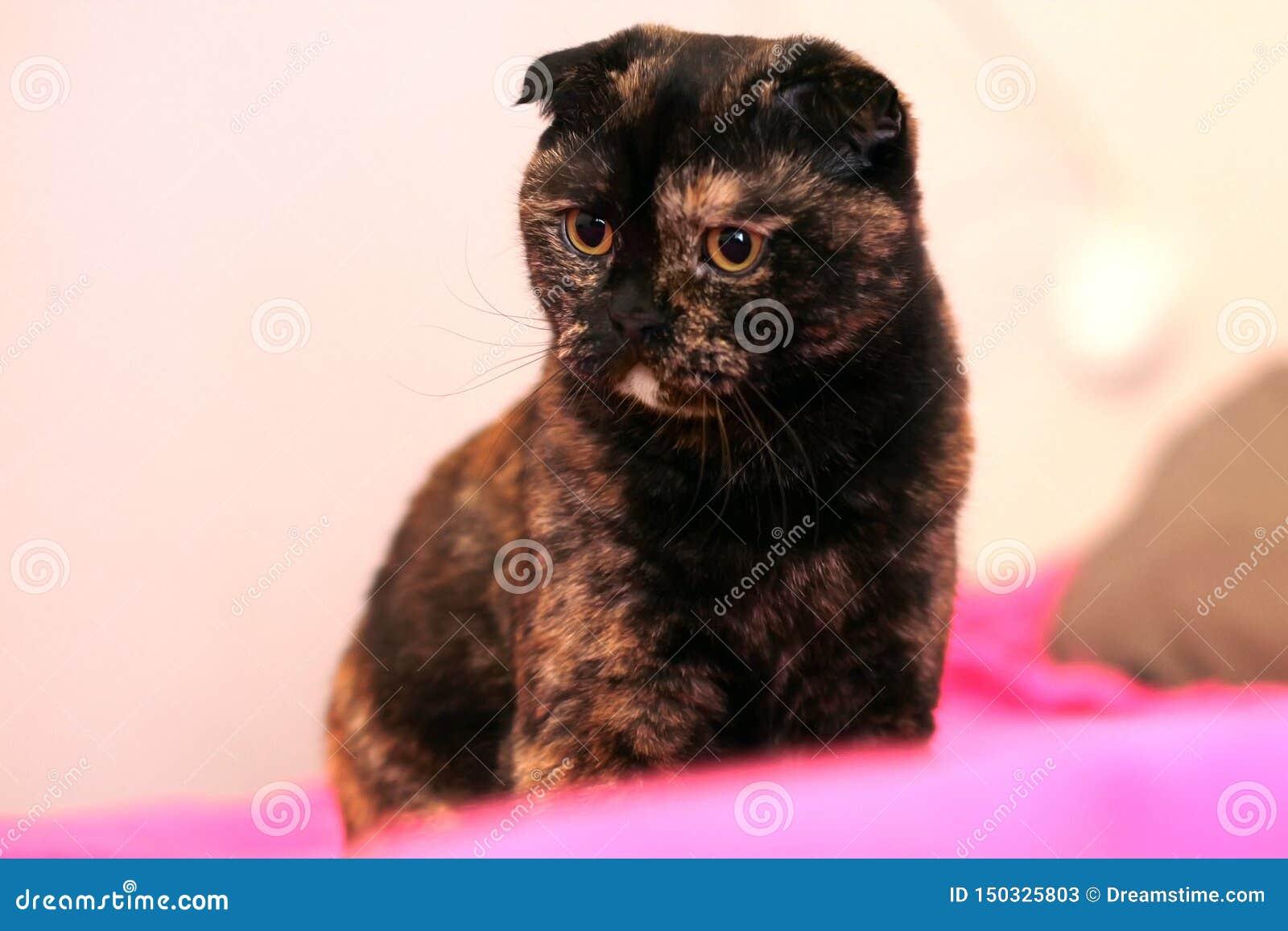 Scottish fold tortoiseshell cat sitting on the bed on a pink blanket