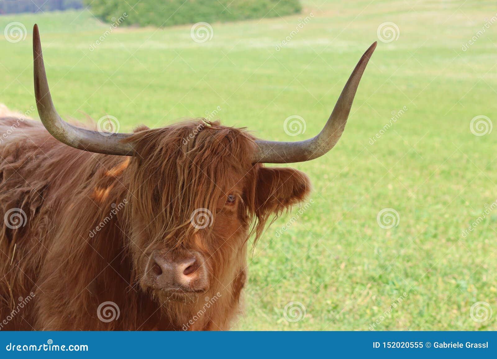 Scottish Highland Cattle On A Large Pasture Stock Image
