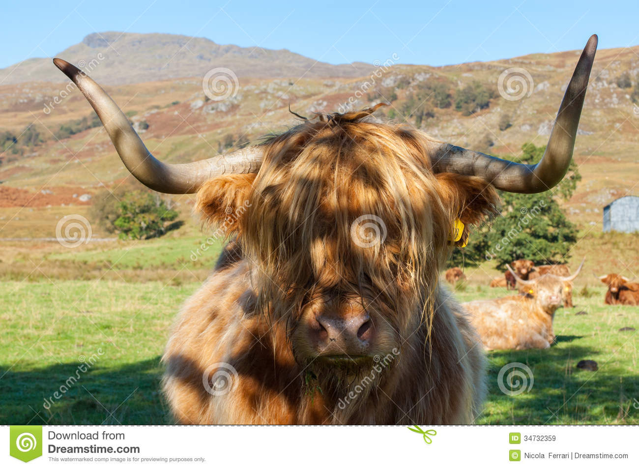 scottish highland cow royalty free stock images image 34732359
