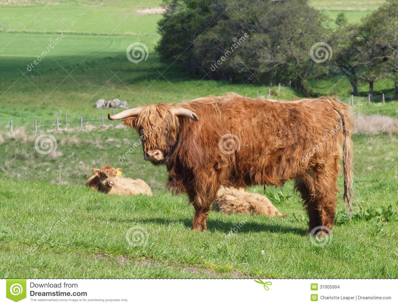 Scottish Highland Cows And Calf Stock Photo - Image: 31905994