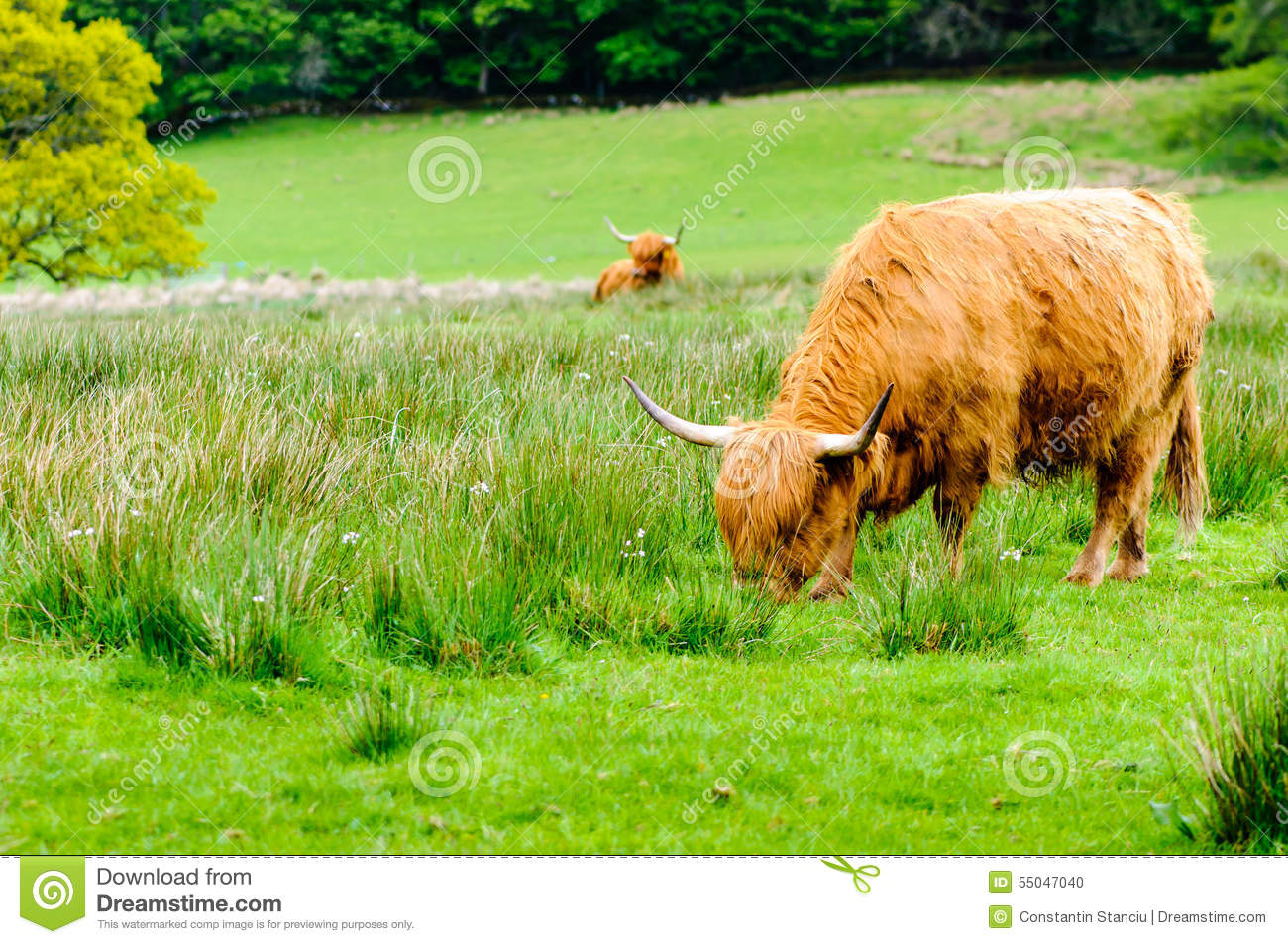 scotland highland cows royalty free stock photo clipart newsletters april clip art crows