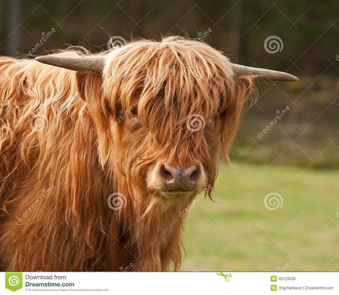 scottish highland cows head in close up stock photo image 40123028