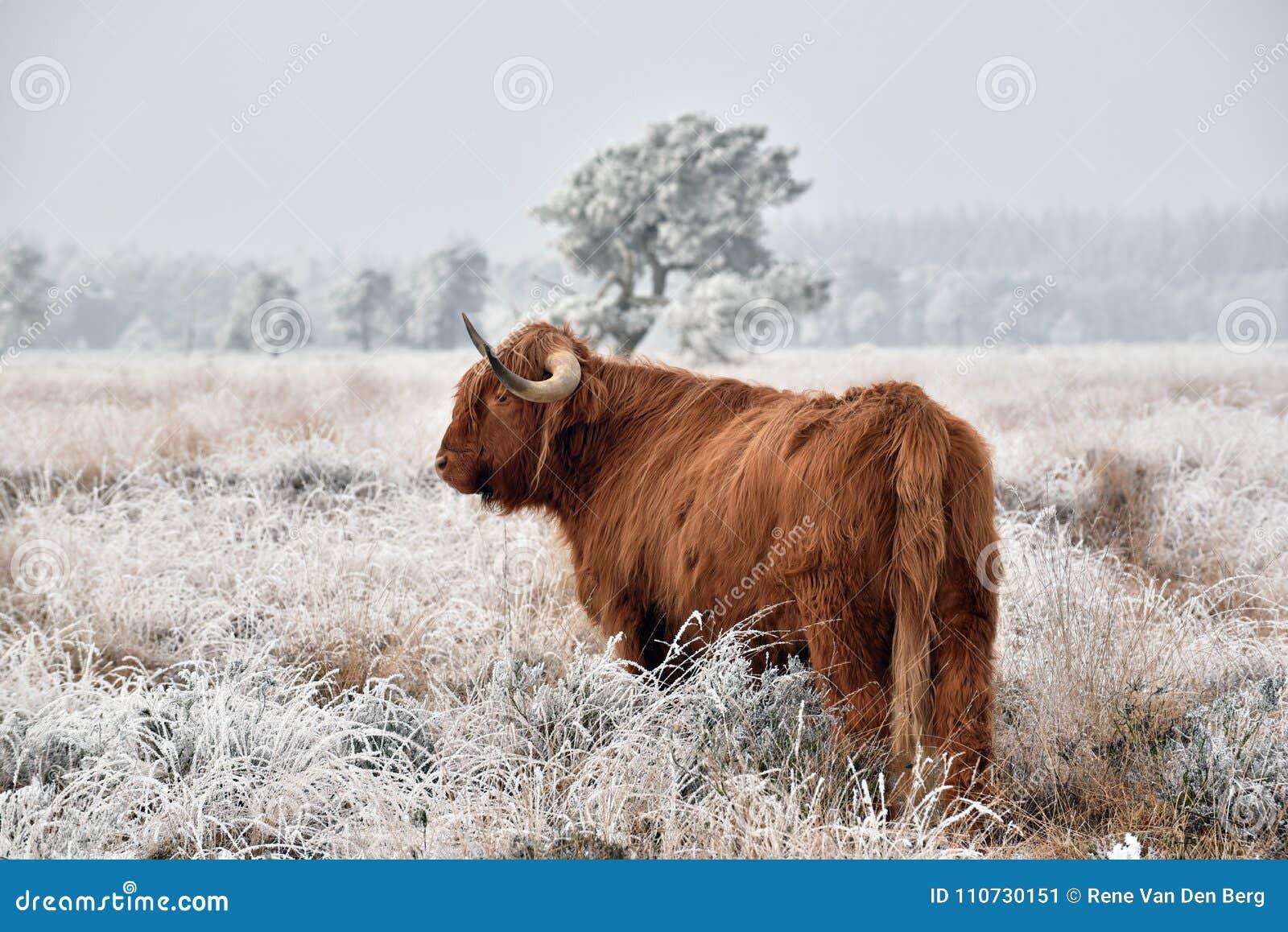 Scottish highlander in snow