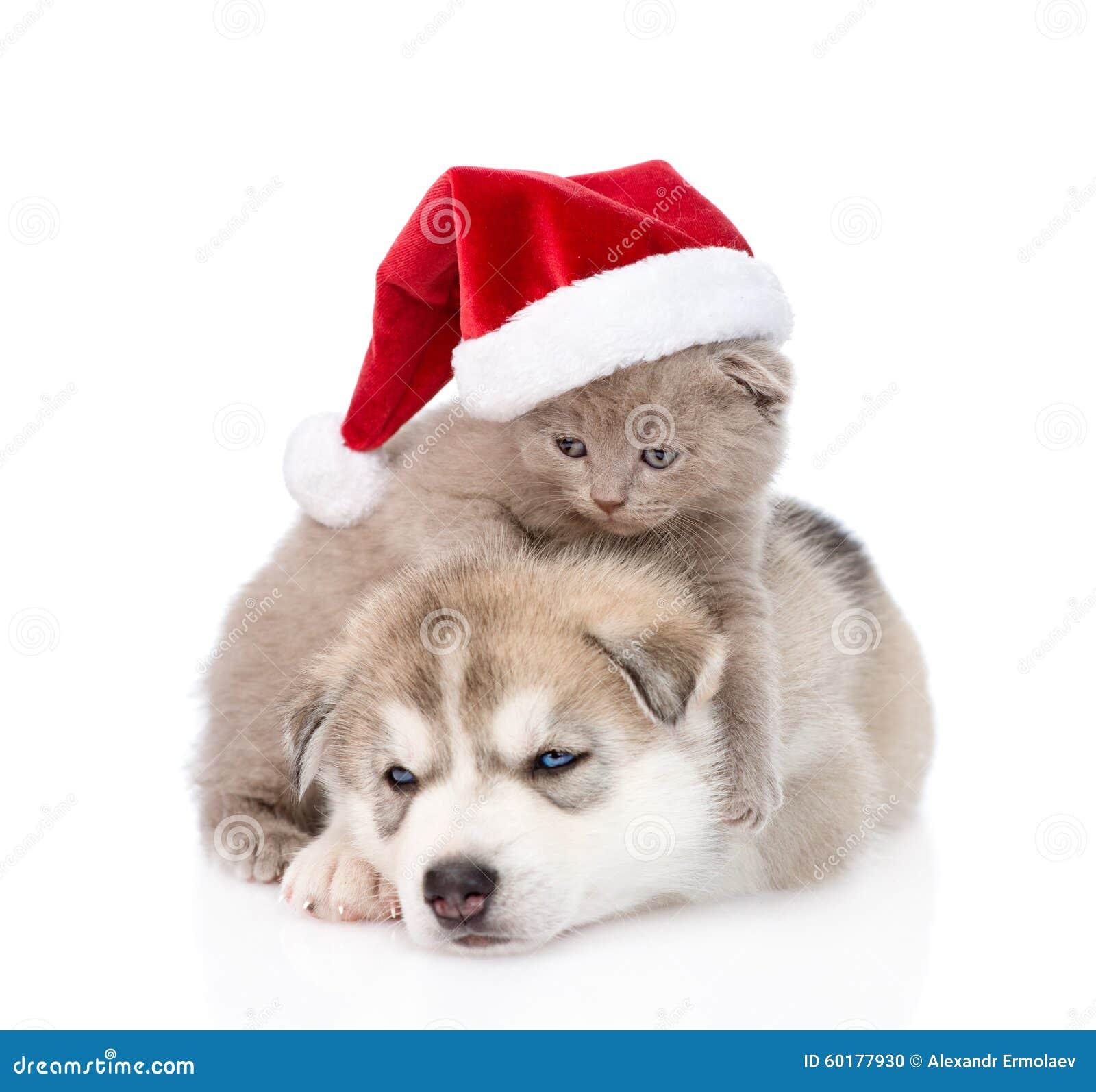 scottish kitten and siberian husky puppy with santa hat. Black Bedroom Furniture Sets. Home Design Ideas