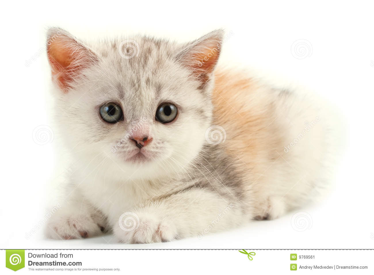 scottish straight breed young pussycat stock image christmas cat clip art pinterest cute christmas cat clipart