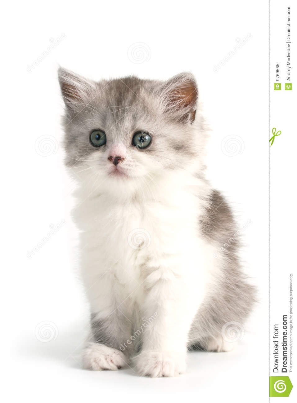 Scottish straight breed young pussycat seated on white background. No ...
