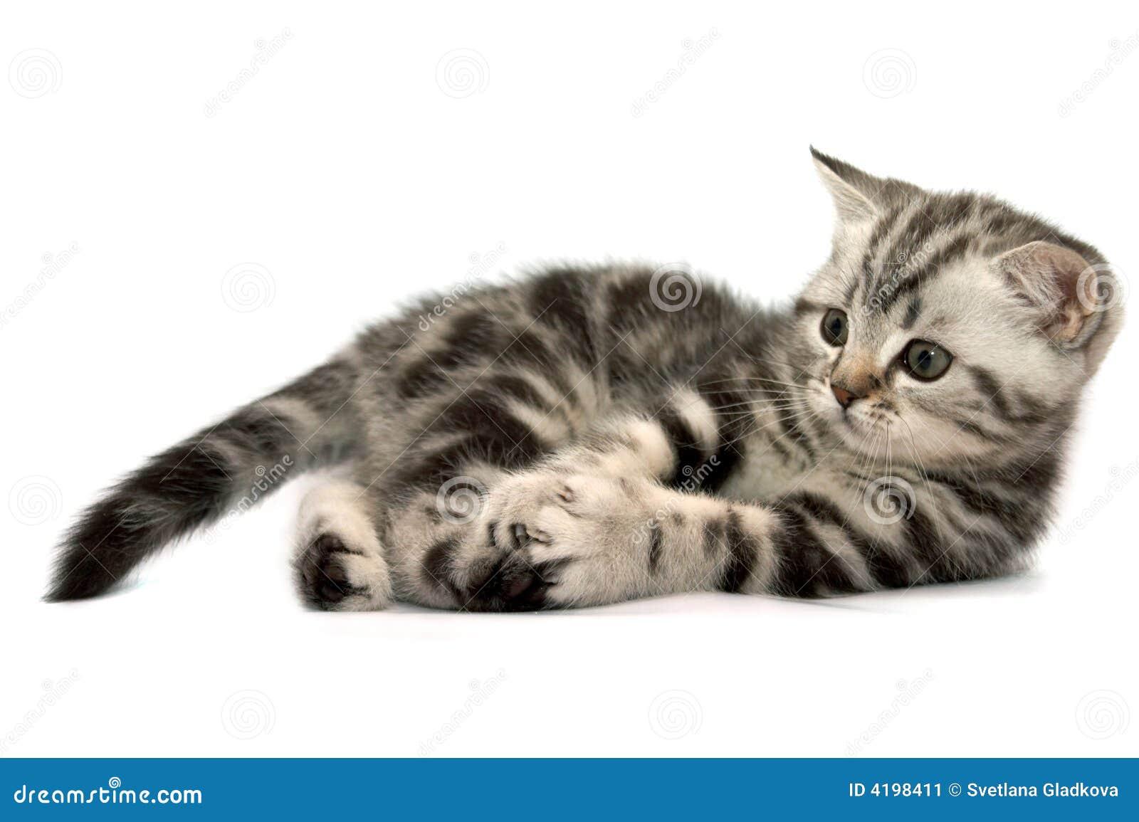 Scottish Straight Cats