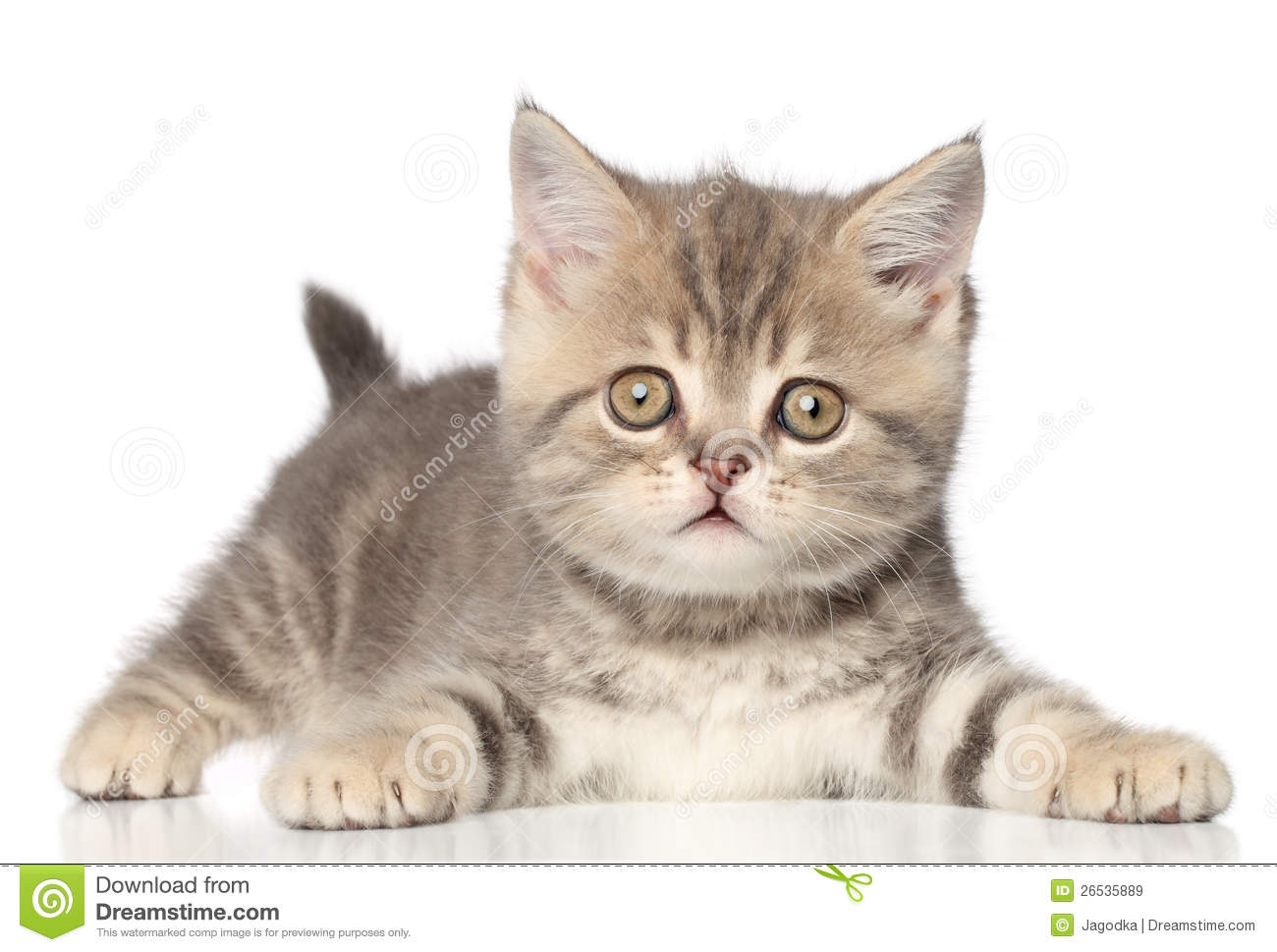 Scottish Straight Kitten Royalty Free Stock Images - Image: 26535889