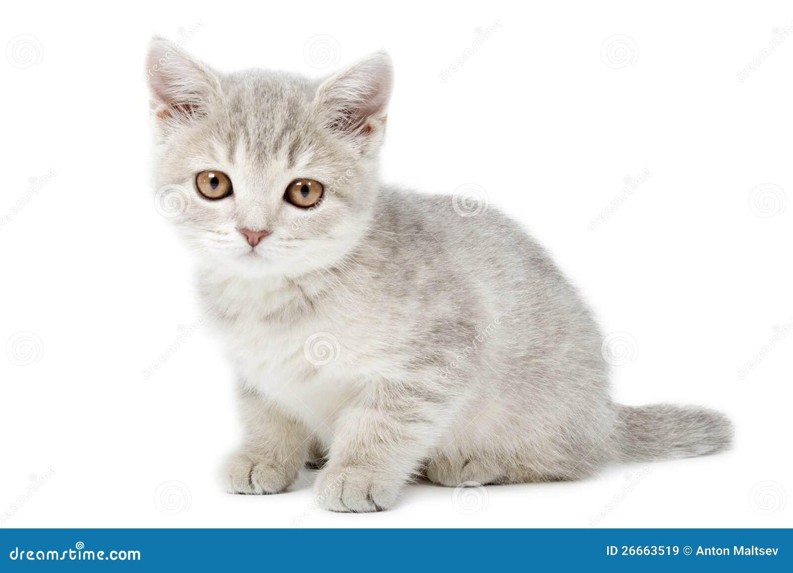 Uitgelezene Scottish Straight Kitten On White Stock Image - Image of studio ZG-75