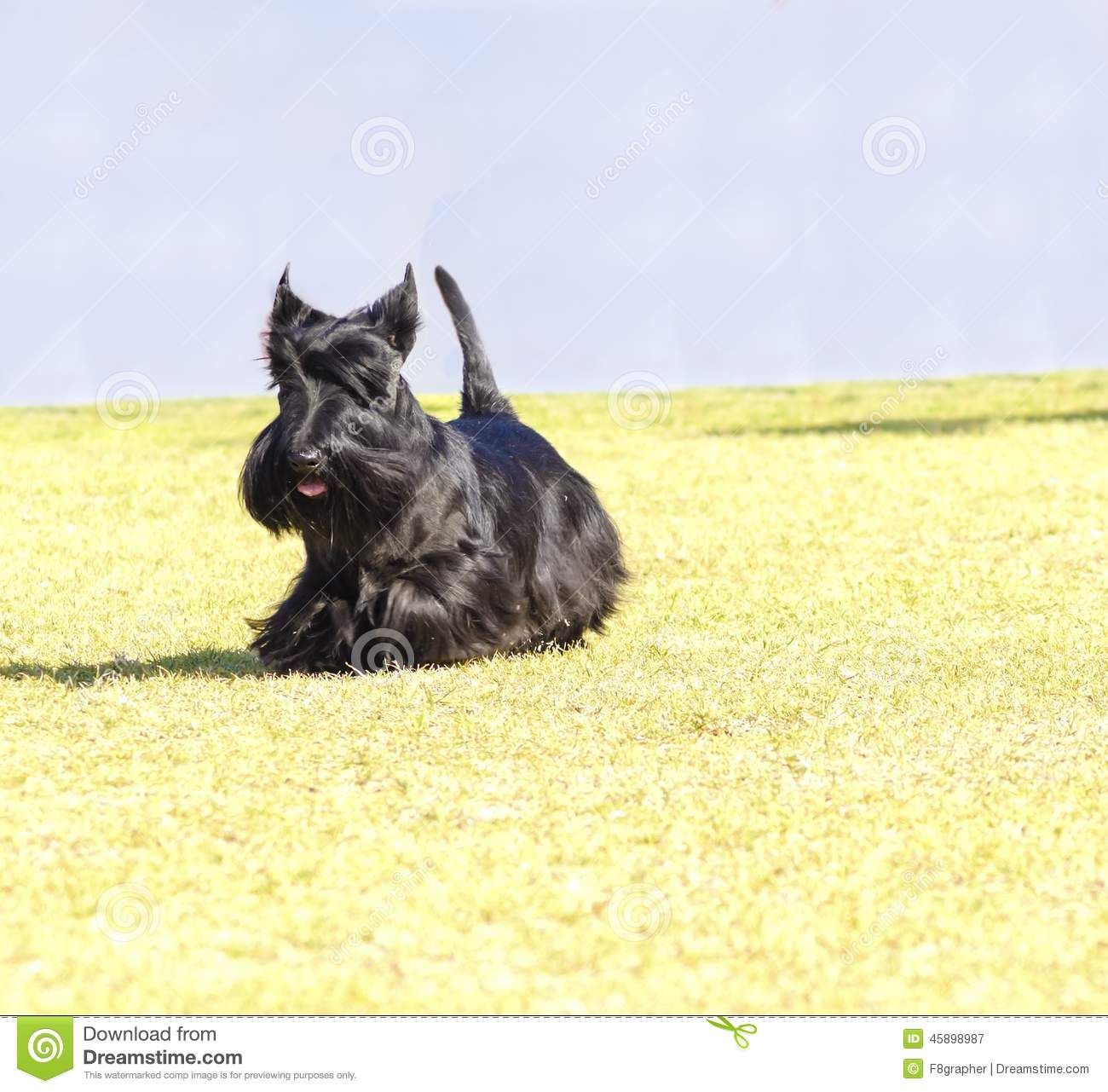 Walking With A Scottie Dog